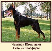 Чемпион Югославии Еста из Зоосферы