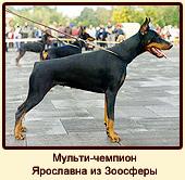 Мульти-чемпион Ярославна из Зоосферы