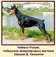 Чемпион России, победитель международных выставок Шалима ф. Ханзеатен