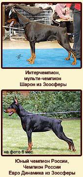 Интерчемпион, мульти-чемпион Шарон из Зоосферы и Юный чемпион России, Чемпион России Евро Динамика.