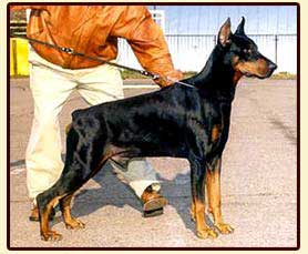 2xEuropean Winner Res.Winner of VDH-Europasieger Absolutly Best Dog of Decade in Russia Graaf Quinton v. Neerlands Stam