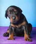 Опубликованы фото щенков от Destiny Phoenix Highway to Hell x Lady First iz Zoosfery в возрасте 23 дней