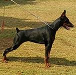 САС-выставка «Собаки Джакарты»