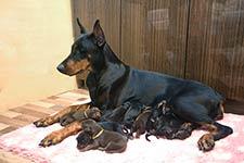 30 сентября  в питомнике «из Зоосферы» родились щенки от САНТЬЯГО ИЗ ЗООСФЕРЫ и ШОУТАЙМ ИЗ ЗООСФЕРЫ
