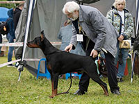 Mono-breed Show of Dobermans