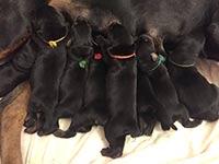 8 июля 2018г. в питомнике «из Зоосферы» родились щенки от СЕБАСТЬЯНА ИЗ ЗООСФЕРЫ и ИРИС МИА ИЗ ЗООСФЕРЫ