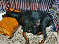 Puppies were born 15.01.2020 in kennel