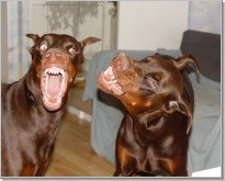 Dobermans are so different. Genre pictures.